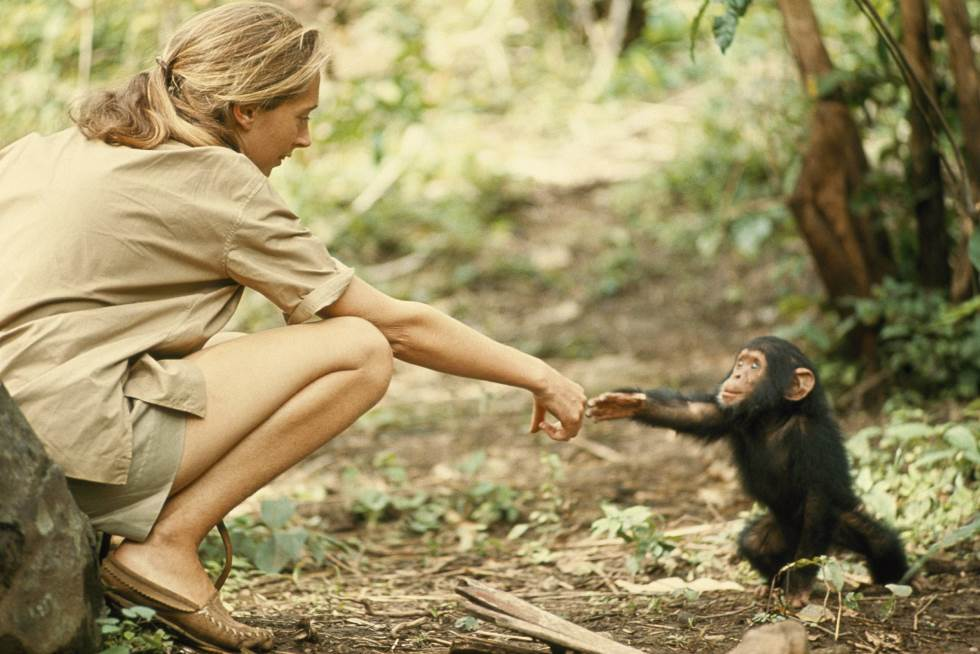 and he ended up with the wrong jane jane goodall Chimpanzee Jane